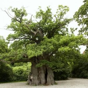 Bispe egetræet v klampenborg